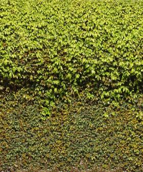 Thư viện 36 ảnh Map cây leo tường chất lượng cao P1